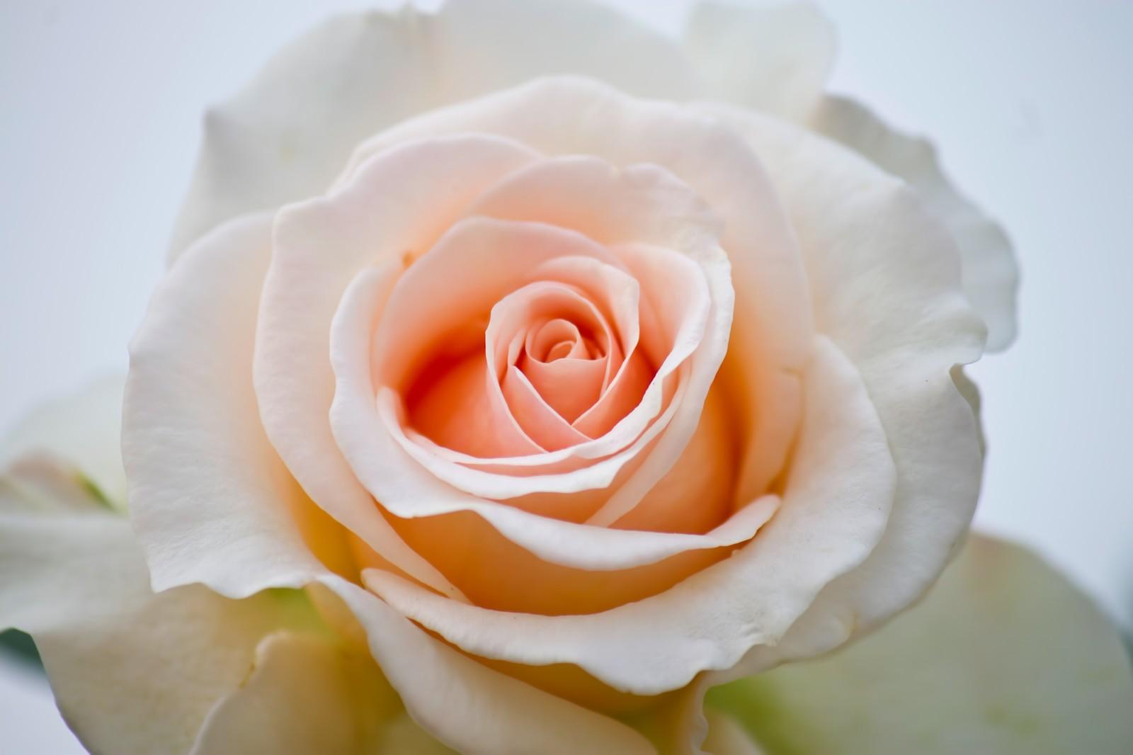 花 クリームデライト