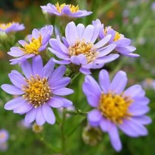 この花は紫苑(しおん)と言って9月から10月が開花時期です。中心が黄色外が紫色になっているので紫と黄色を使ってメイクします。清楚っぽく見せるのがポイントです