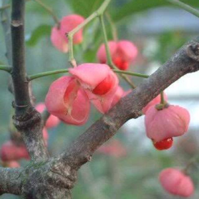 この花は檀(まゆみ)と言って開花時期は5月から6月頃ですが秋に実をつけます。
